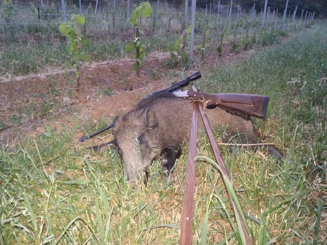 Wild boar no. 2 in a French wineyard. Photo: G.C. France